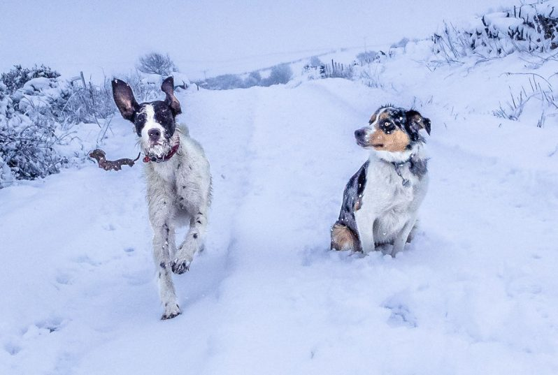 german wirehaired pointer and border collie in the snow