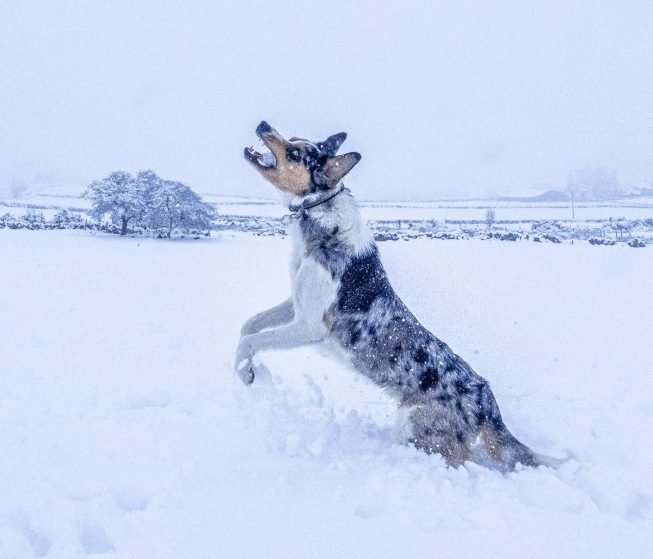 border collie jumping in snow