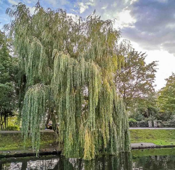 weeping willow on the canal walk