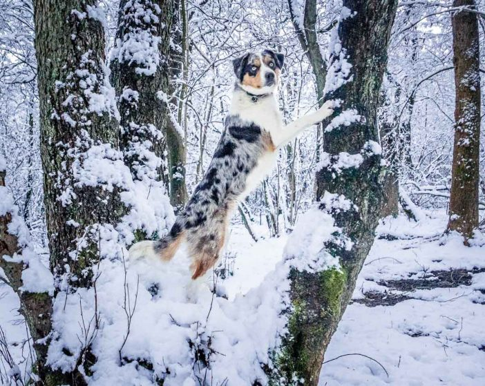 border collie posing on a tree