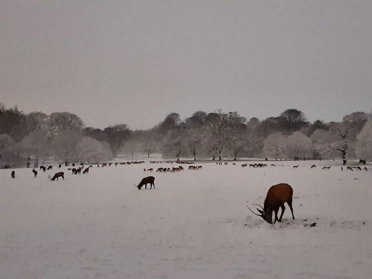 Red deer herd in snow storm