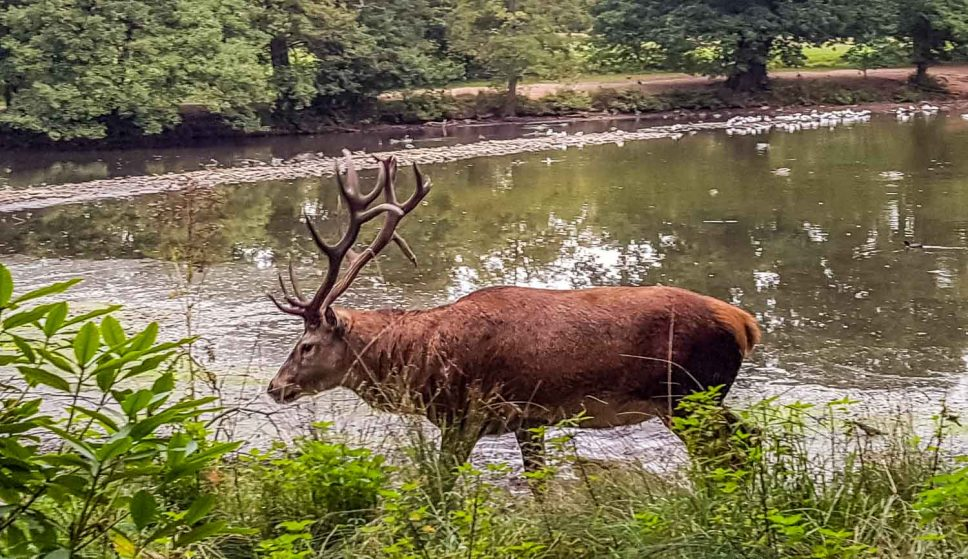 Red stag in rutting season by the lake