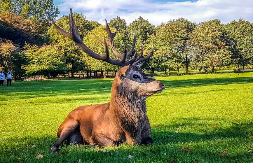 Stag on Wollaton park