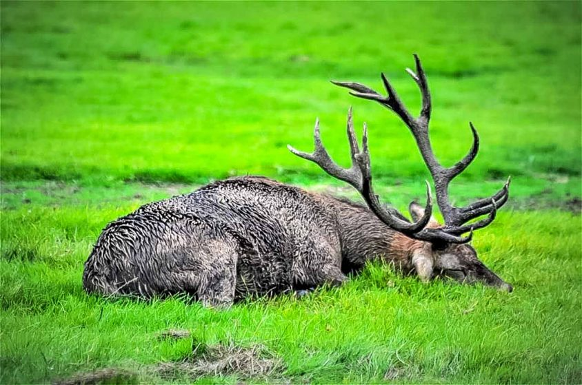 Tired stag in rut