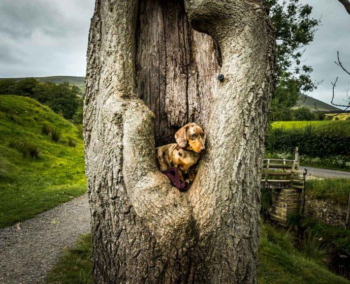 dog in tree stump