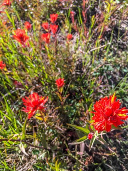 paintbrush flowers