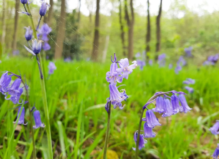 Bluebells in the Linacre Woods