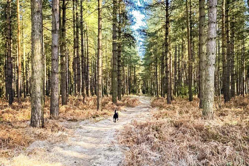 dog walking in horsford woods