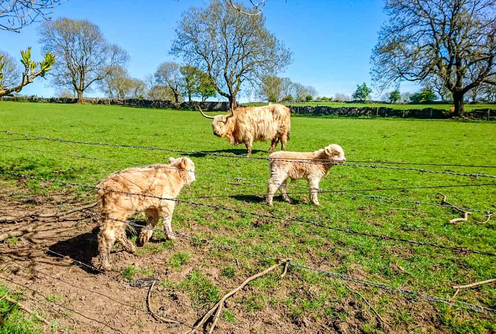 Cattle grazing in Derbyshire
