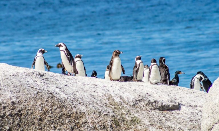 The Penguins Of Southern Africa