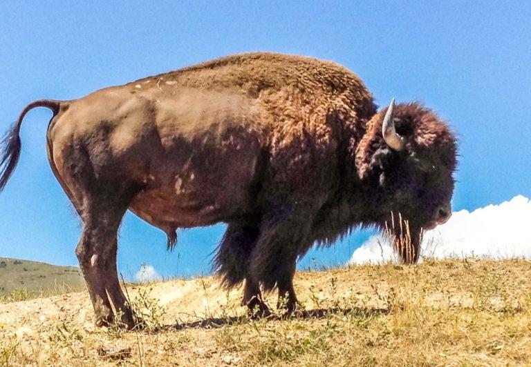 National Bison Range Of Montana, USA