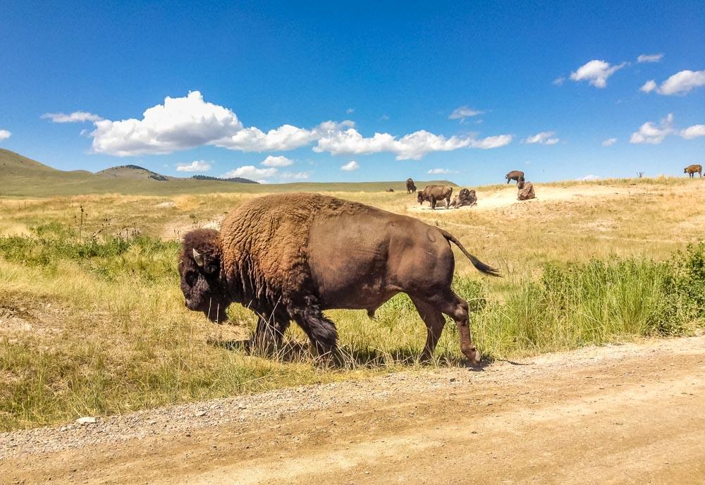 bull crossing road