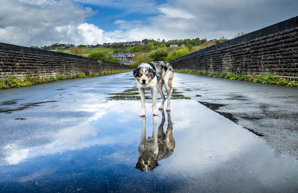 dog on thornton viaduct