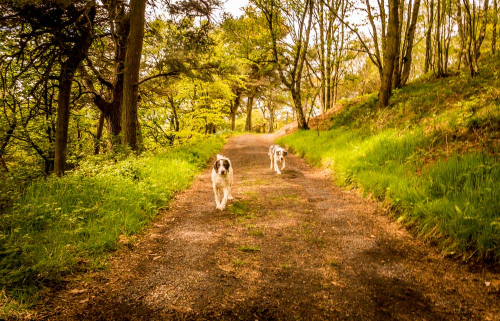 dogs on the trail