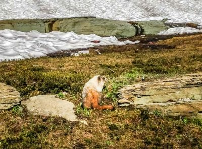 Pikas, Ground Squirrels and Marmots - High Altitude Friends