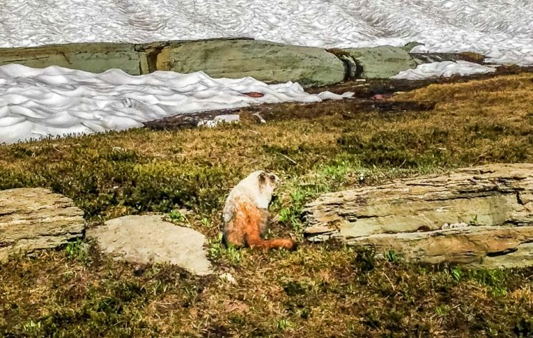 Pikas, Ground Squirrels and Marmots – High Altitude Friends