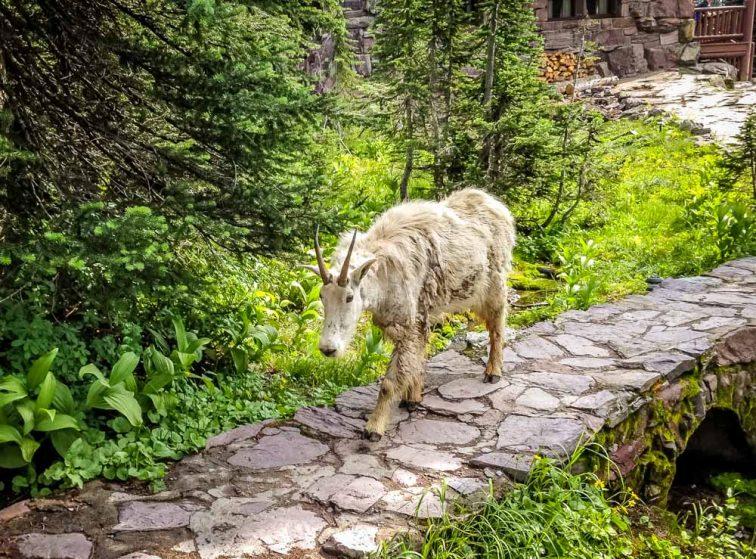 shedding goat at sperry