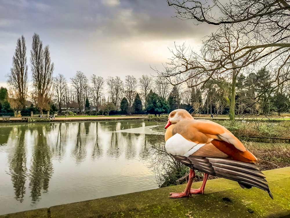 Egyptian goose at Highfields park Nottingham