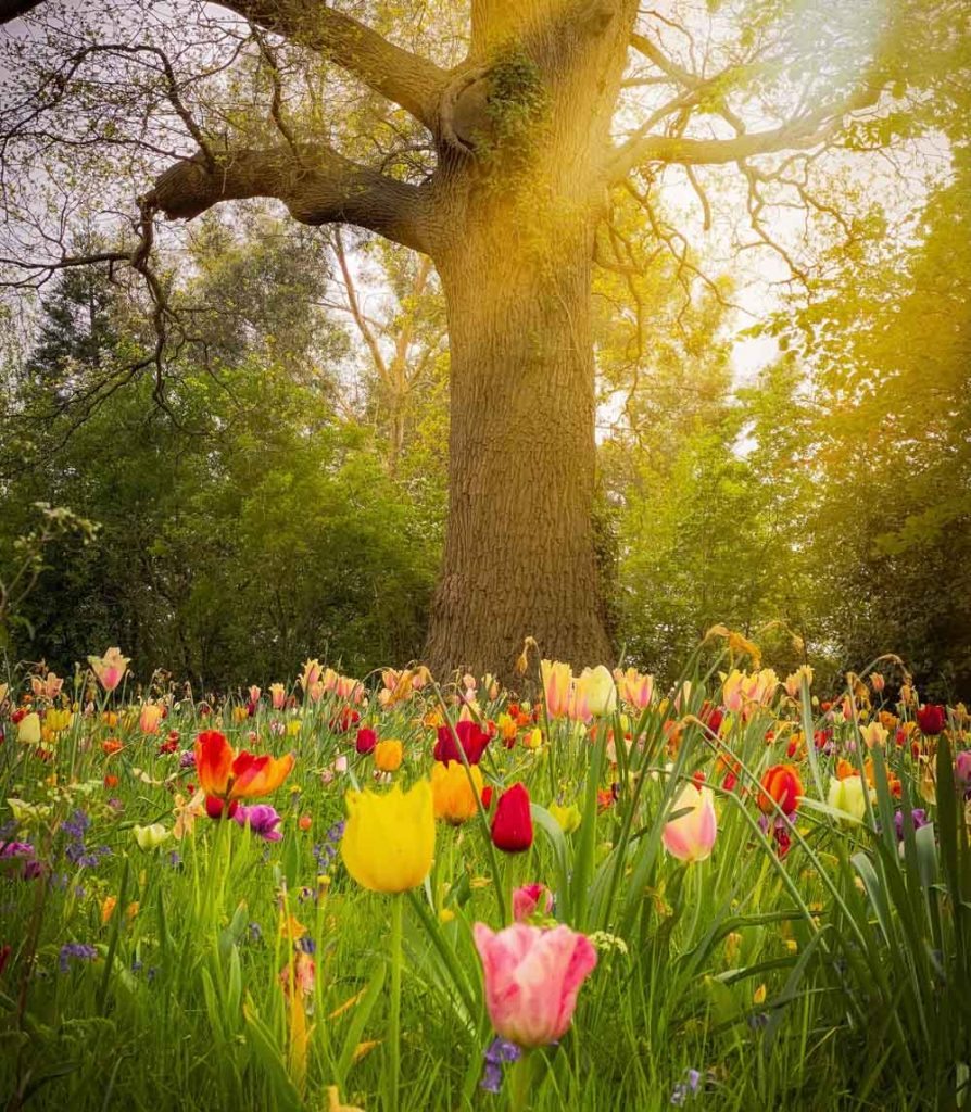 spring tulips meadow