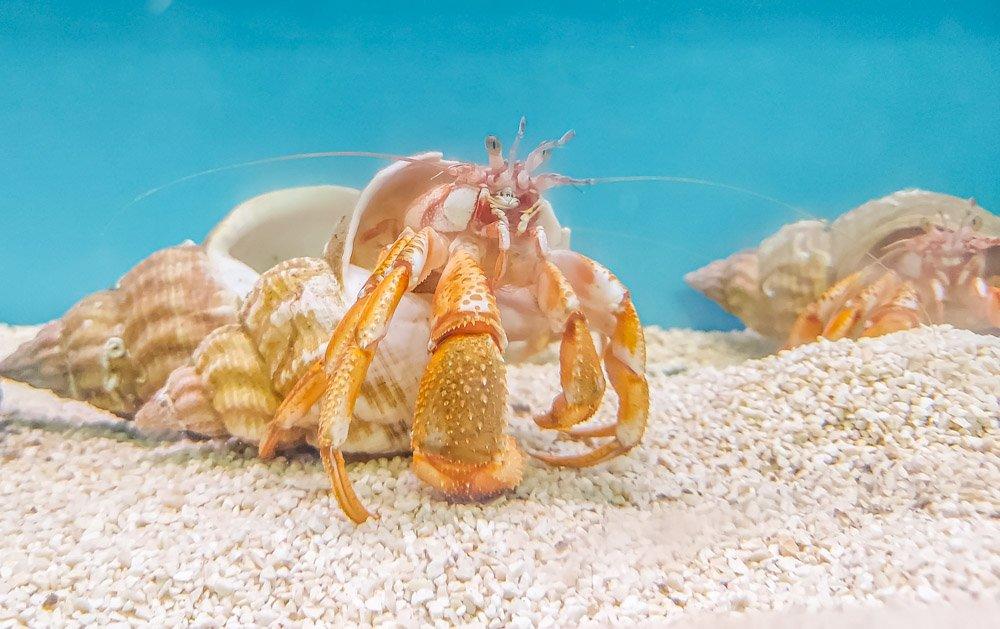 Hermit crab in the aquarium