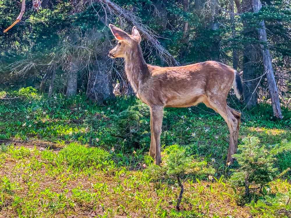black tail deer yearling