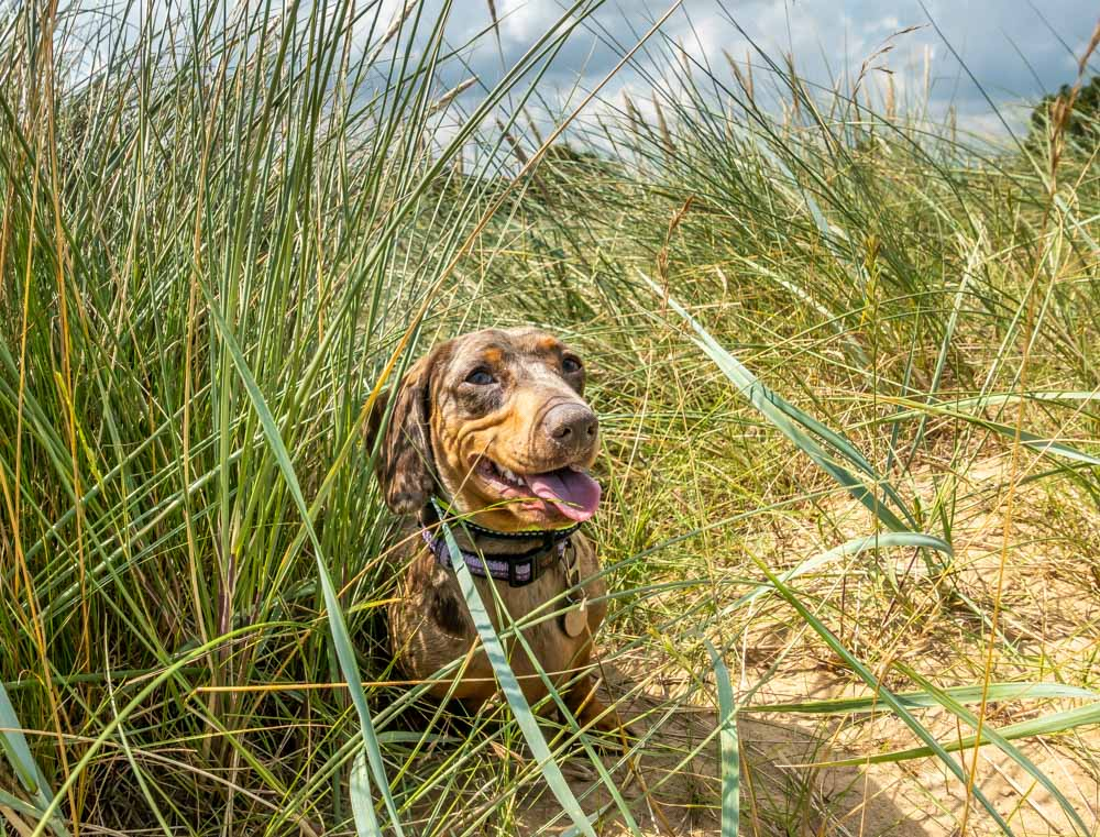 daschund in the dunes