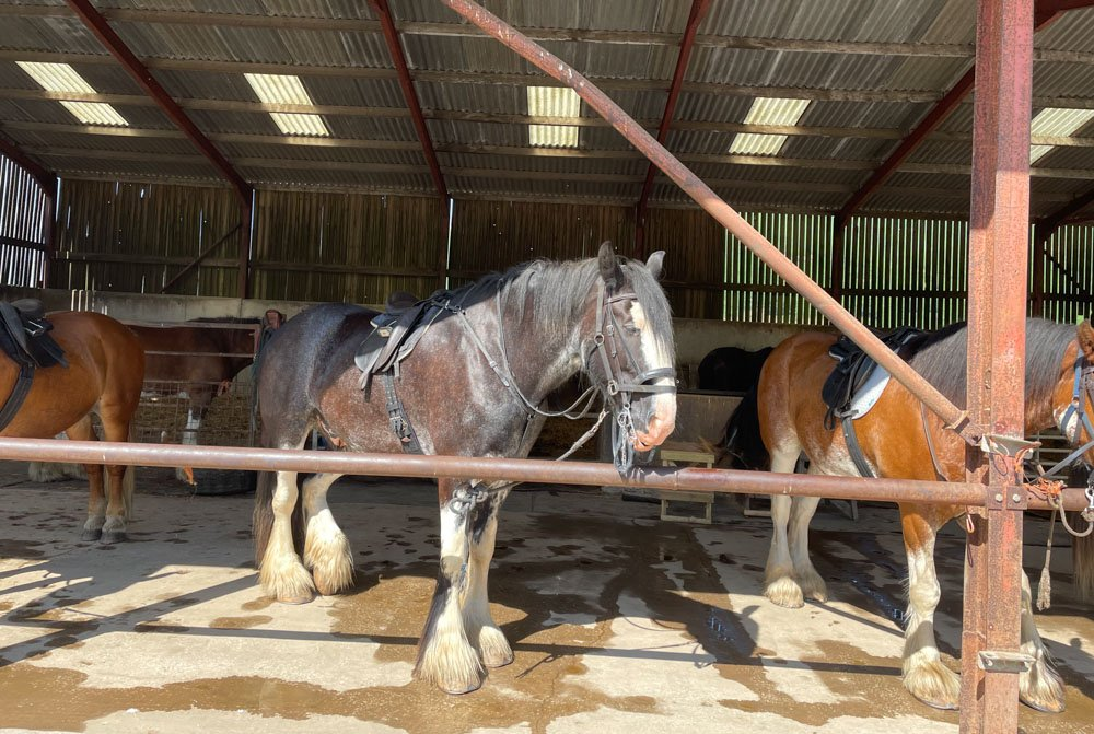 horses in the shed