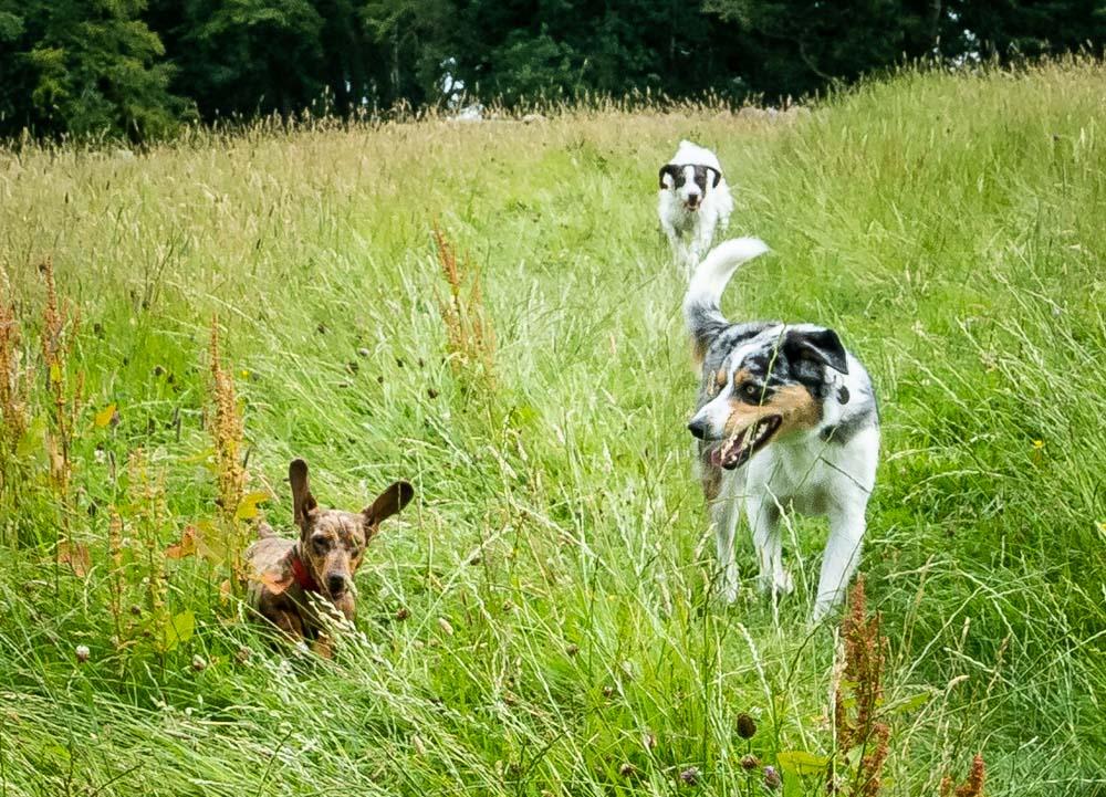 3 dogs running in field