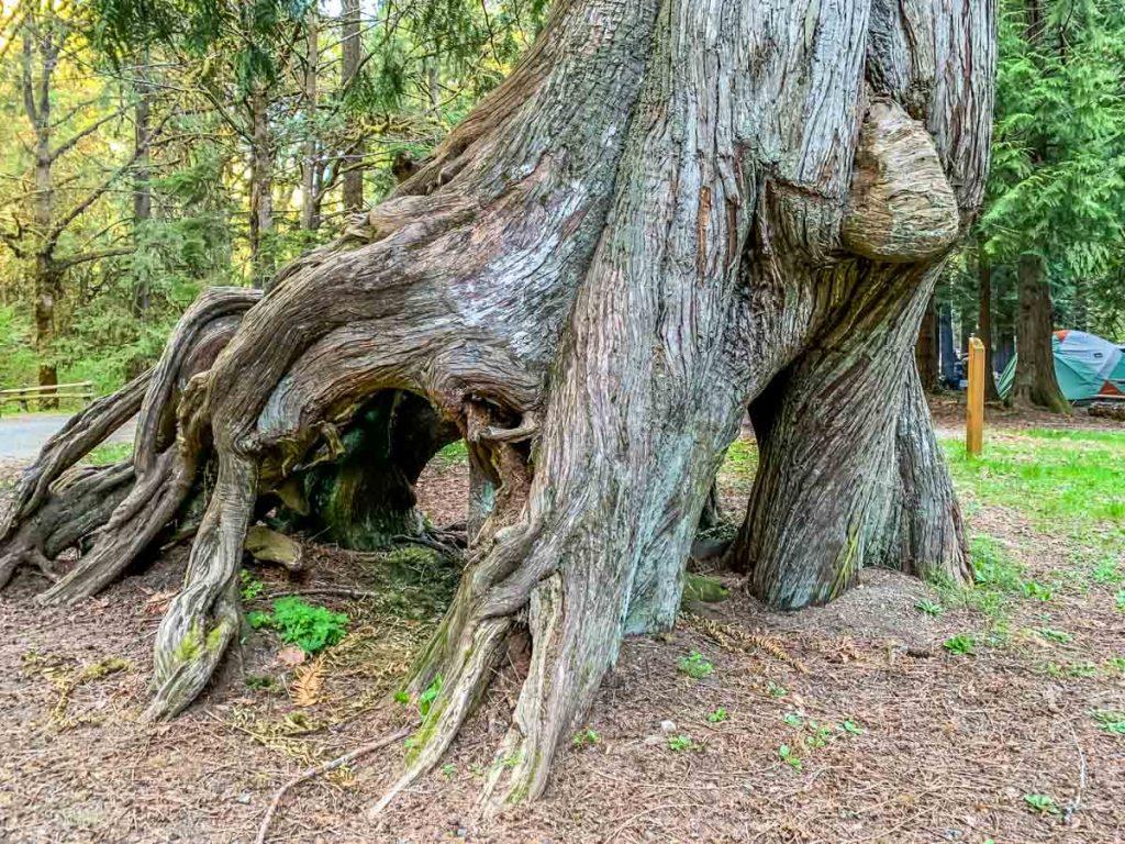 cedar with legs