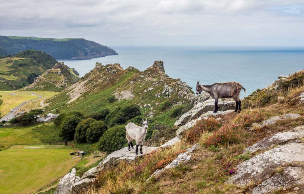feral goat valley of rocks