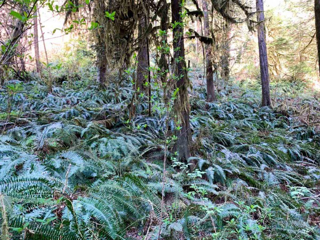 fern undergrowth