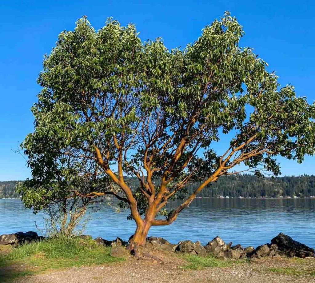 madrona tree