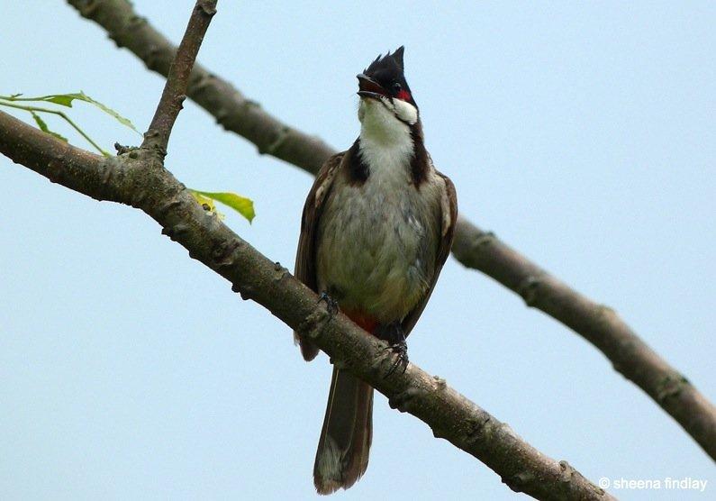27.-Red-whiskered-babul The Wetland Park, Hong Kong