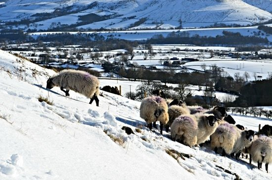 3.-Curious-Sheep Win Hill Pike – A snow covered pimple