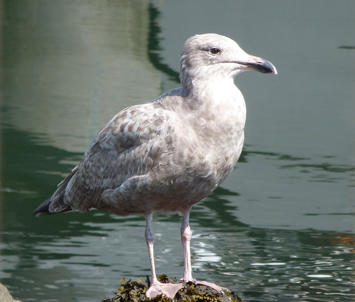 3.-Young-Seagull.-Boston-Sept-20141 A whistle stop tour of Boston and Salem