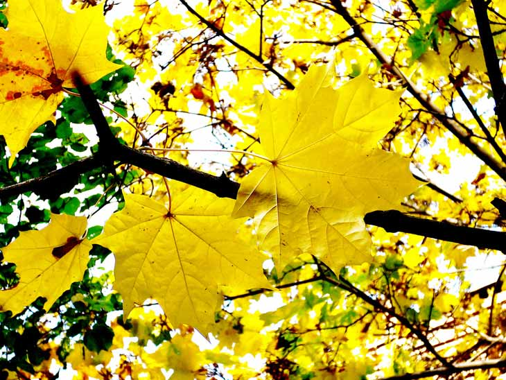 yellow leaves russia