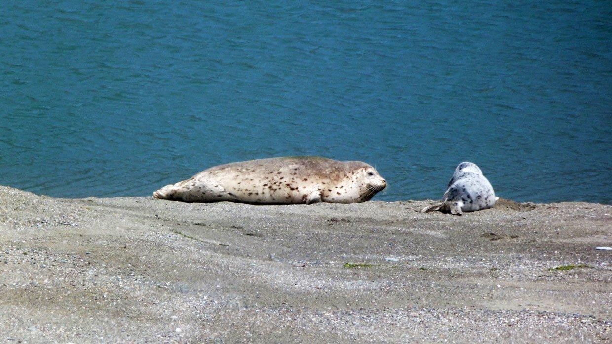 Harbor Seals at Goat Rock Beach, Sonoma County