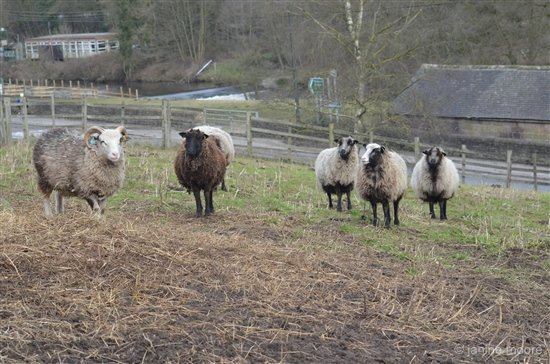 8-Flock-of-Rare-Breed-Sheep-by-the-Stile-walk Shining Cliff to Alderwasley circular walk via Cromford Canal