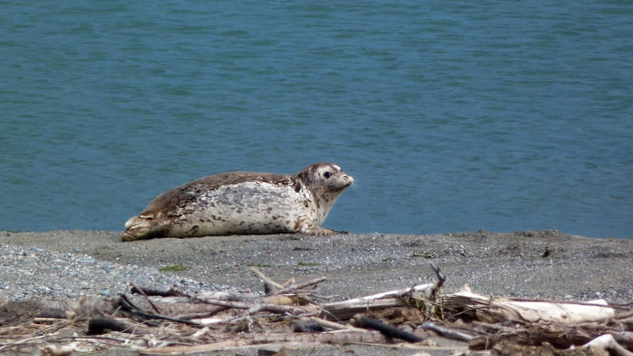 8.-Harbor-Seal Harbor Seals at Goat Rock Beach, Sonoma County