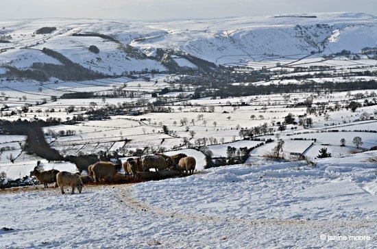 9.-Flock-of-Sheep-Enjoying-a-Feed Win Hill Pike – A snow covered pimple