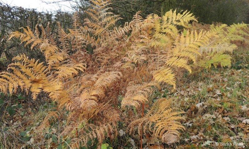 Autumn-colour-ferns-Ferns The Beauty of Ferns