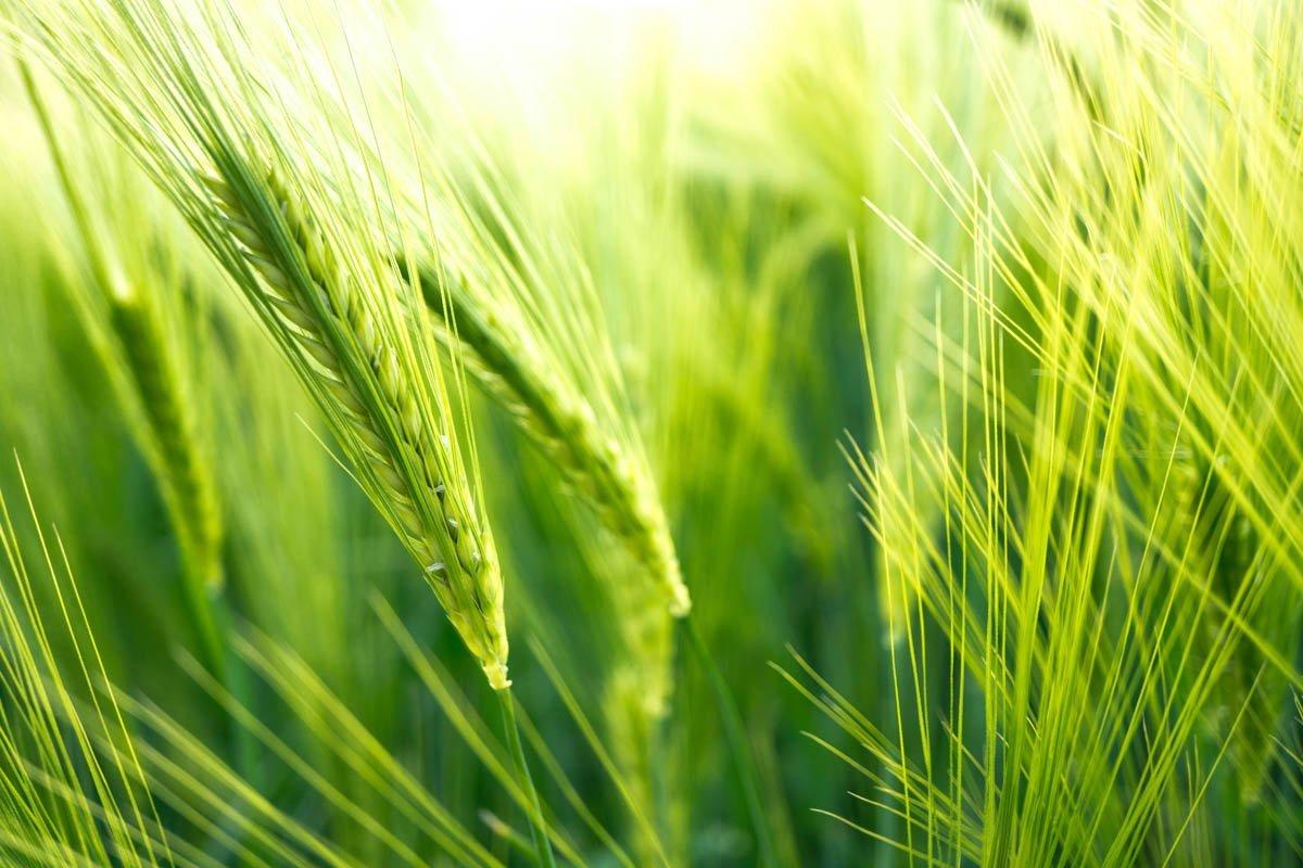 BarrettsField-13-of-20 The Many Glories of Barley