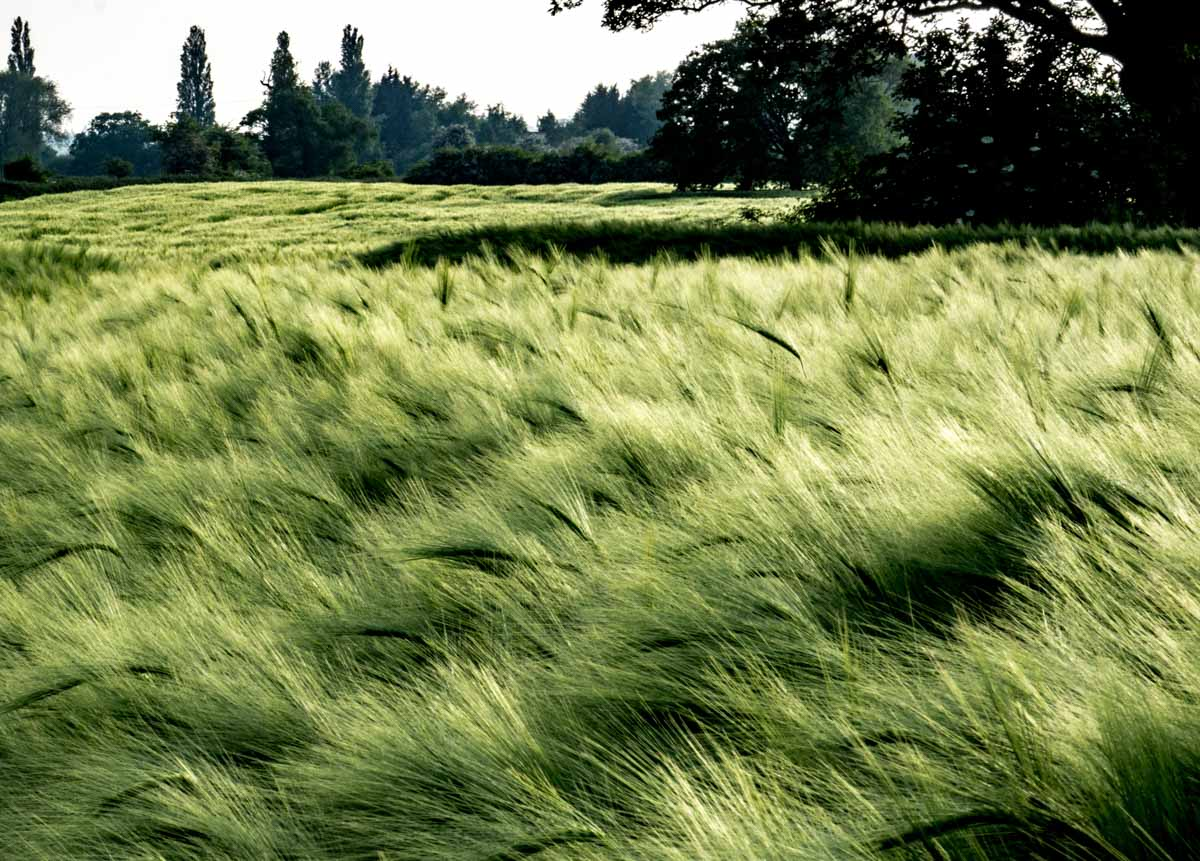 BarrettsField-15-of-20 The Many Glories of Barley