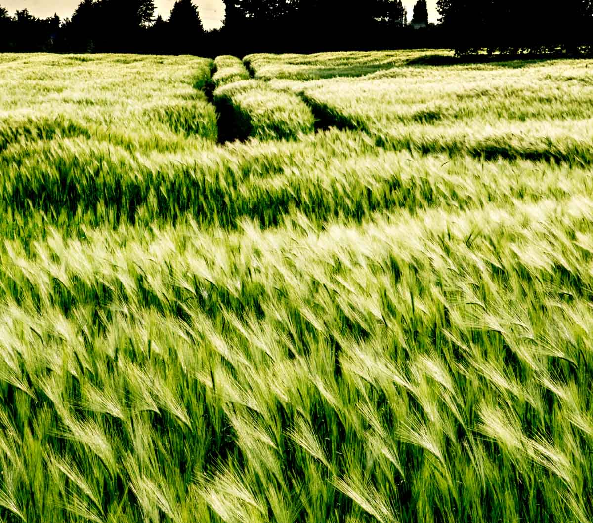 BarrettsField-18-of-20 The Many Glories of Barley