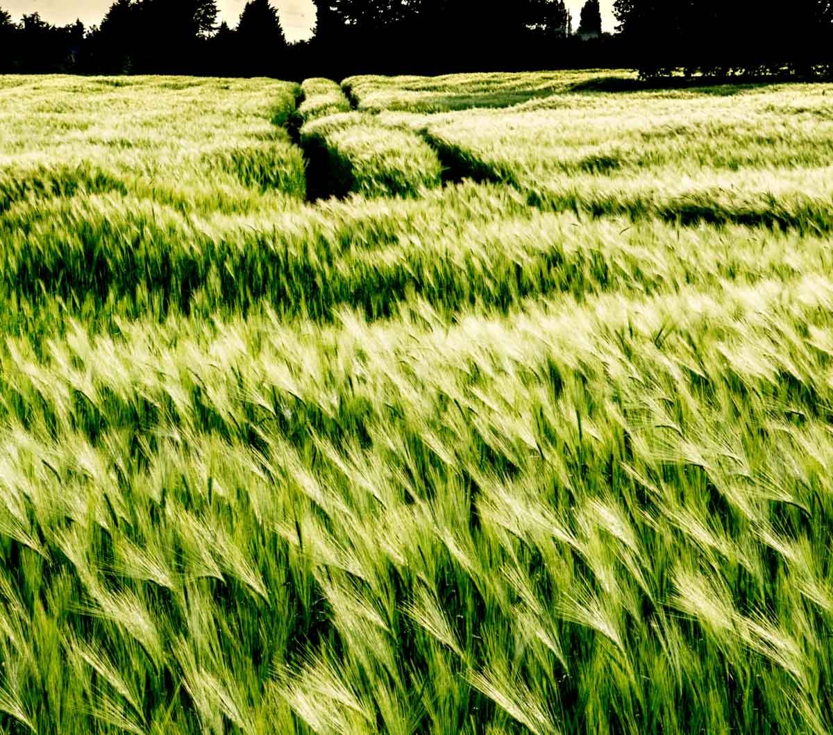 BarrettsField-18-of-20 The Many Glories of Barley
