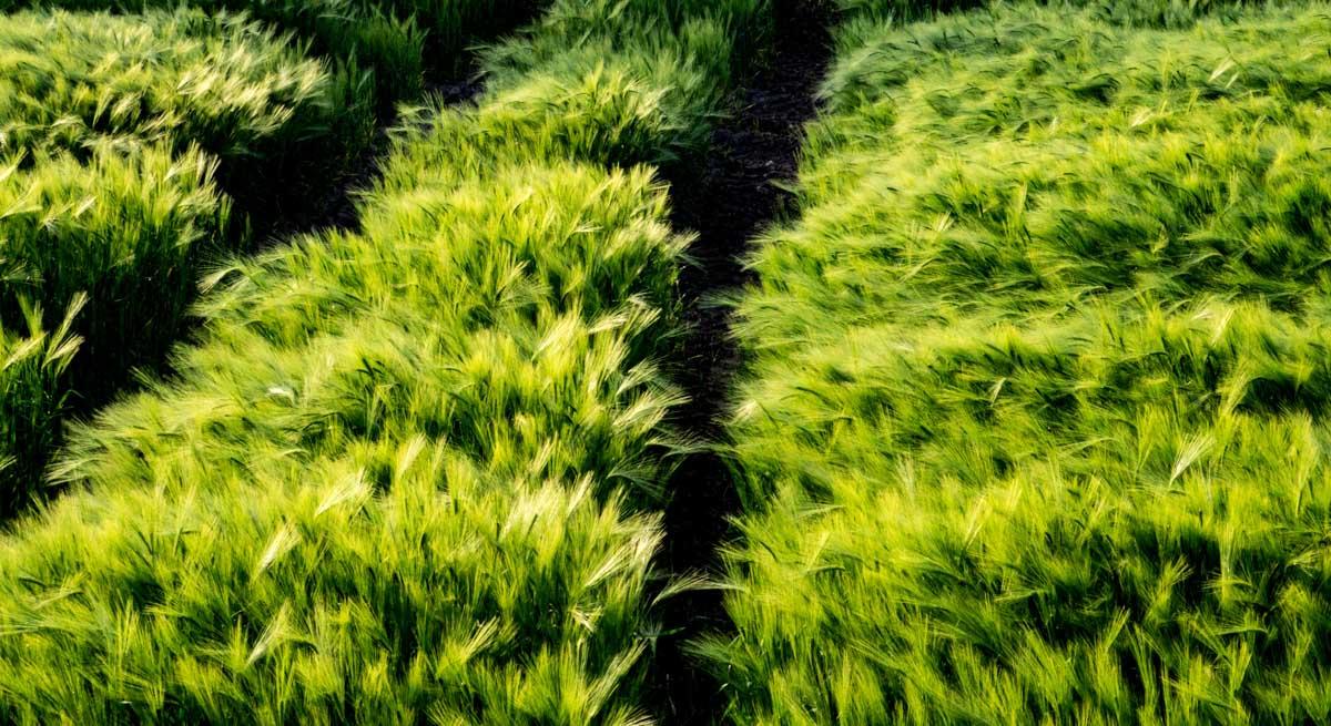 The Many Glories of Barley