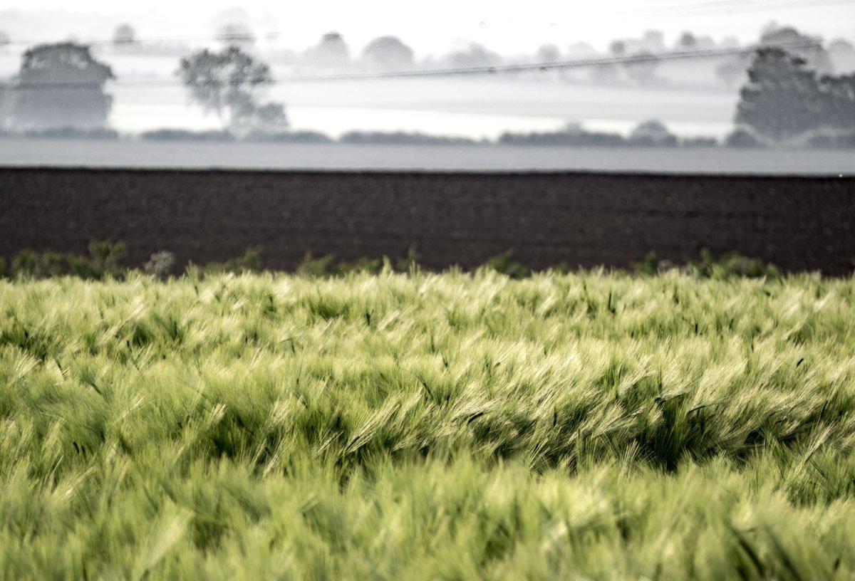 BarrettsField-3-of-20 The Many Glories of Barley