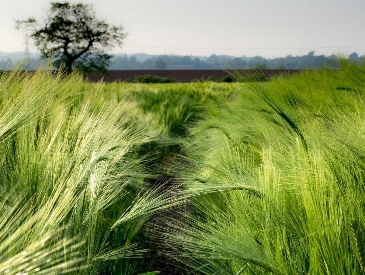 BarrettsField-6-of-20 The Many Glories of Barley