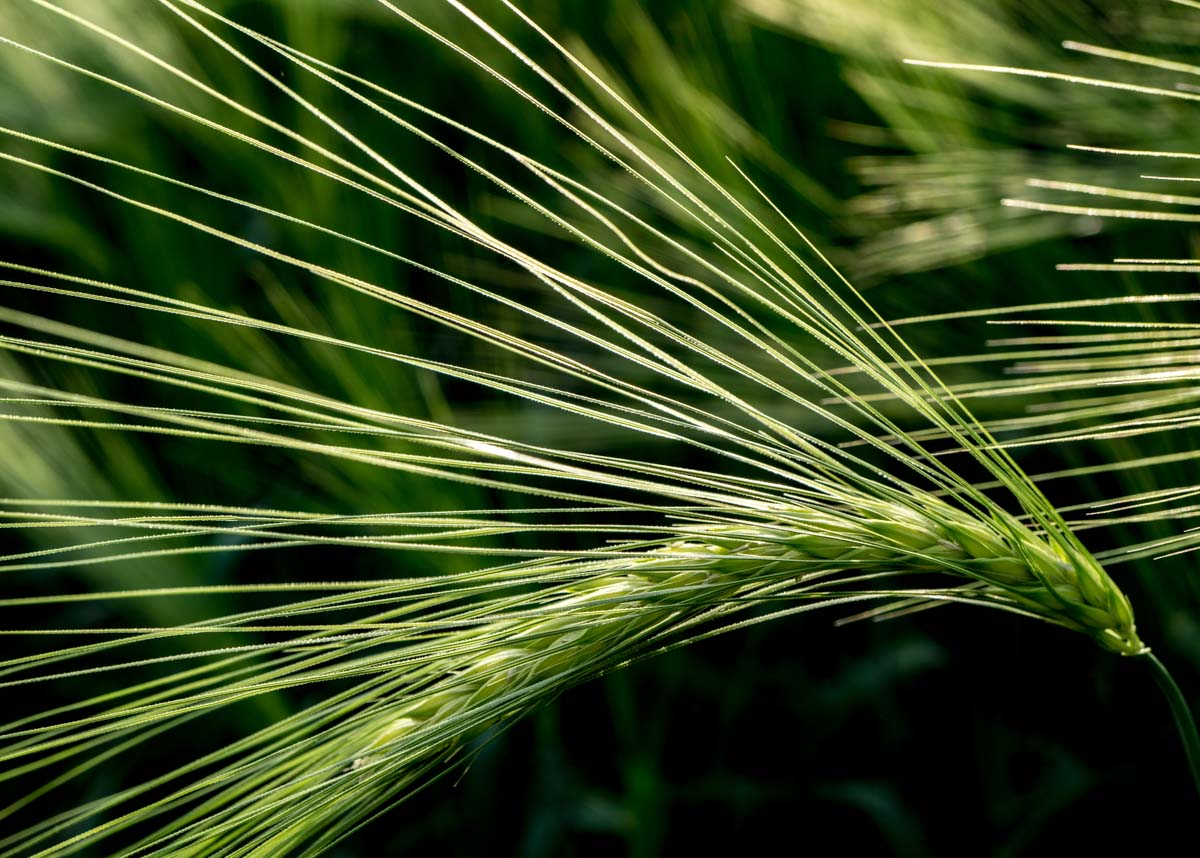 BarrettsField-7-of-20 The Many Glories of Barley