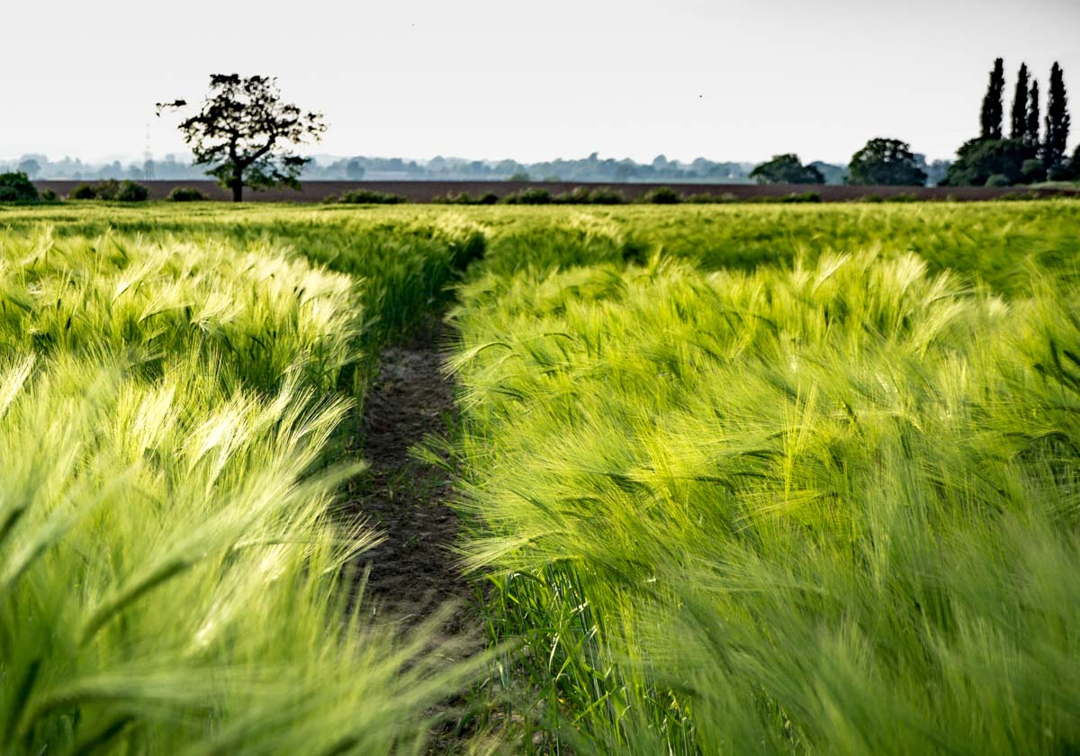 BarrettsField-9-of-20 The Many Glories of Barley